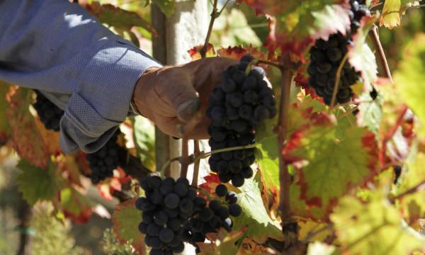 raccolta a mano – uva sagrantino -montefalco